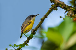 Common Tody-Flycatcher Stock Image