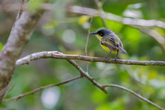 Common Tody Flycatcher Stock Photos