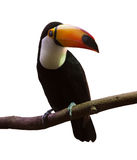Common Toucan. Isolated over white background Stock Photo