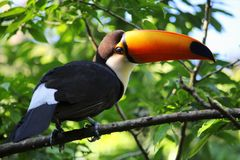Common toucan Royalty Free Stock Photo