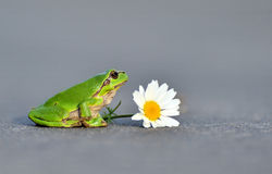 Common tree frog. With flower Royalty Free Stock Photography