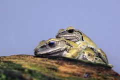 Common tree frog Royalty Free Stock Photos