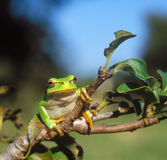 Common tree frog Royalty Free Stock Image
