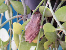 Common tree frog Polypedates leucomystax on the potted plants. Stock Photos
