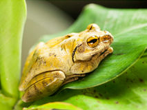 Common Tree Frog siting on leave - Polypedates leucomystax Royalty Free Stock Photography