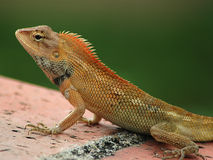 Common Tree Lizard. Closeup of Common Tree Lizard royalty free stock image