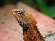 Common Tree Lizard. Closeup of Common Tree Lizard royalty free stock photography