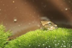 Common treefrog Royalty Free Stock Images