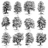 Common trees vector illustrations set. Collection of twelve vector illustrations of high quality engravings of common trees Royalty Free Stock Image