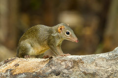 Common treeshrew or Southern treeshrew. (Tupaia glis) in forest of Thailand Stock Photography