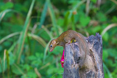 Common treeshrew or Southern treeshrew. Tupaia glis in forest of Thailand Stock Image