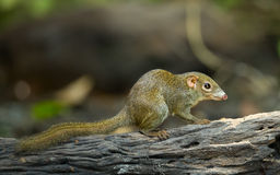 Common treeshrew. Or Southern treeshrew (Tupaia glis) in forest of Thailand Royalty Free Stock Images