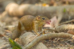 Common treeshrew. (Tupaia glis) in nature Royalty Free Stock Images