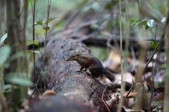 Common Treeshrew. Tupaia glis in Sabah, Borneo, Malaysia Royalty Free Stock Photos