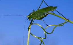 Common True Katydid on curling Tendril Stock Photos