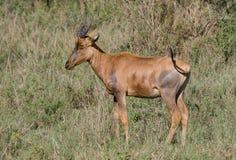 Common Tsessebe Royalty Free Stock Photo