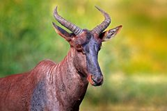 Common tsessebe, Damaliscus lunatus, detail portrait of big brown African mammal in nature habitat. Sassaby, in green vegetation, stock images