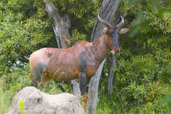 Common Tsessebe (Damaliscus lunatus) Royalty Free Stock Photos