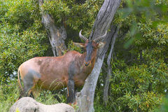Common Tsessebe (Damaliscus lunatus) Stock Photo