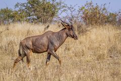 Common tsessebe in Kruger National park, South Africa ;. Specie Damaliscus lunatus lunatus family of Bovidae royalty free stock photo