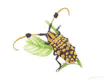 Common Tuft-bearing longhorn. Common Tuft-bearing longhorn,watercolor painting on paper Stock Images