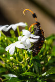Common Tuft-bearing Longhorn Royalty Free Stock Images