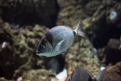 Common two banded sea bream or Diplodus vulgaris. Body is generally grey-silver, with two well-defined vertical black bands, one close to the gills and one in stock photo