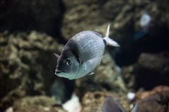 Common two banded sea bream or Diplodus vulgaris. Body is generally grey-silver, with two well-defined vertical black bands, one close to the gills and one in royalty free stock photo