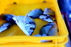 Common two-banded seabream or Diplodus vulgaris Royalty Free Stock Images