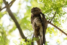 Common urutau Potoo Nyctibius griseus owl. stock images