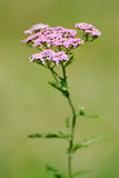 Common valerian Royalty Free Stock Photography