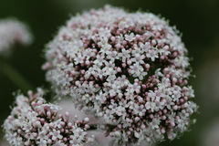 Common Valerian. Closeup of Common Valerian blooming in springtime Royalty Free Stock Photos