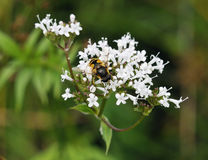 Common Valerian With Hoverfly Royalty Free Stock Photo