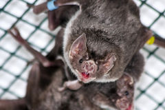 Common vampire bat Stock Photo