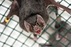 Common vampire bat Stock Photography