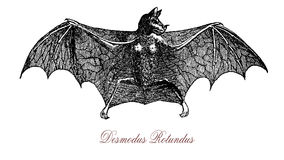Common vampire bat, vintage engraving. Common vampire bat, a small, leaf-nosed bat native to the Americas. Feeds mainly on the blood of livestock Stock Photography