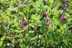 Common vetch flowers. Common vetch is in bloom from March to June stock image
