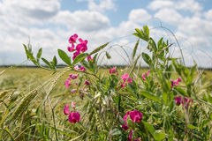 Common vetch in the grain field Stock Photo