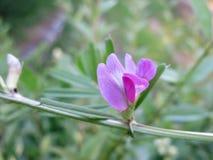 Common vetch (Vicia sativa) Stock Image