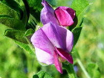 Common Vetch - Vicia sativa royalty free stock photos