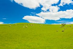 Sheep in the New Zealand Stock Photo