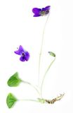 Common Violet (Viola odorata) Stock Images