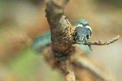 Common viper Stock Photography