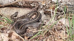 Common vipers basking stock footage