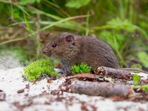Common Vole (Microtus arvalis). In natural habitat is trying to hide behind moss and sticks Royalty Free Stock Photo