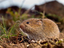 Common Vole (Microtus arvalis) on the ground in a field Royalty Free Stock Photos