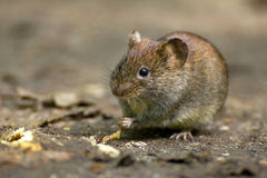 Common Vole Royalty Free Stock Photography