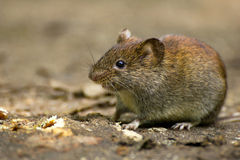 Common Vole Royalty Free Stock Photos