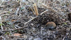 Common vole /Microtus arvalis/ looks out of the mink in the ground.  stock video footage