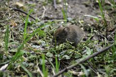 A common vole (microtus arvalis) stands on a ground and eats seed
